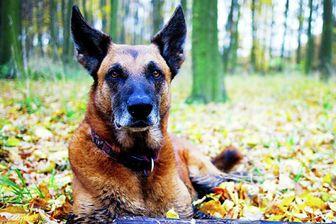 قدرت بی نظیر سگها در تشخیص ویروس کرونا