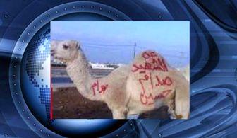قربانی کردن شتر برای صدام در اردن!