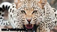 خبر حمله یوزپلنگ به دام های روستای نجف بجنورد صحت ندارد