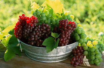 آغاز برداشت انگور یاقوتی از باغات کهگیلویه و بویراحمد