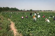 برداشت لوبیا از مزارع تهران/ گزارش تصویری