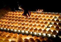 خرید ۷۵ هزارتن مرغ و تخم مرغ برای تنظیم بازار