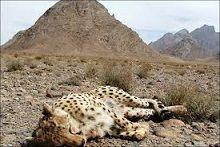 کشتهشدن یوز های ایرانی در جادههای کویری