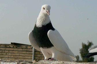 هند در باره «کبوتر جاسوس» تحقیق می کند