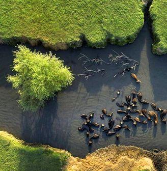 آبتنی گاومیشها در صومعهسرا/ عکس
