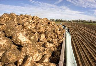 30 هزار هکتار از اراضی آذربایجانغربی زیر کشت چغندر قند قرار گرفته است