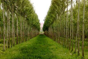 توسعه زراعت چوب و کشت گیاهان دارویی با کمک بسیج وزارت جهاد کشاورزی
