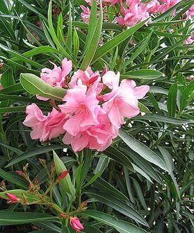 گیاهی زیبا که باعث ایست قلبی می شود+عکس