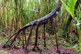 درآمد نجومی یک جوان از پرورش یک درخت عجیب/عکس