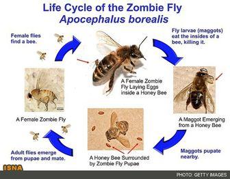 حمله زنبور سایبری به انگلهای مرگبار!