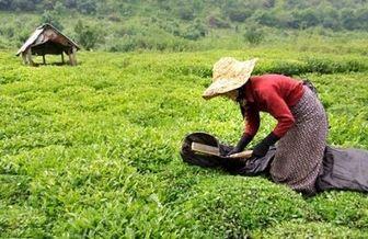 سهم چای ایرانی از بازار جهانی