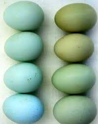 حل معمای تخممرغهای آبی!