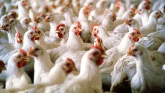 افزایش قیمت مرغ در بازار