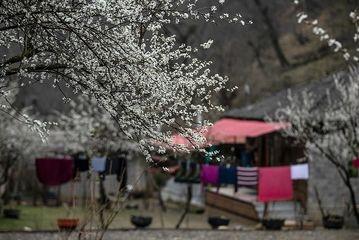 خودنمایی زودهنگام شکوفههای بهاری در جاده اسالم به خلخال/ گزارش تصویری