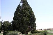 تصویر عجیبی از یک درخت خامه
