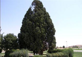 لاکچریترین درختهای ایران! + عکس