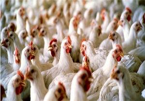 نرخ واقعی هر کیلو مرغ زنده 6 هزار تومان