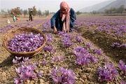 رقیب جدی برای طلای سرخ ایران پیدا شد