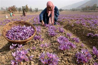 تداوم تلاش ها برای تنظیم بازار زعفران