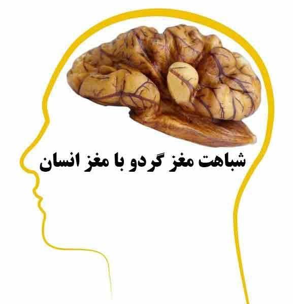شباهت مغز گردو با مغز انسان