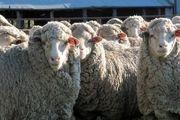 4 دلیلی که مردم گوسفند قربانی را باید از مراکز عرضه بهداشتی تهیه کنند
