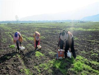 آغاز نشاء گوجه فرنگی در شهرستان رامیان