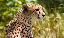 جریمه ۲۵میلیون تومانی شکار یوزپلنگ + جدول