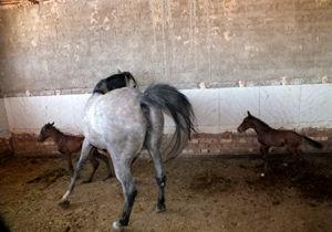 دوقلوزایی نادر در دنیای پرورش اسب