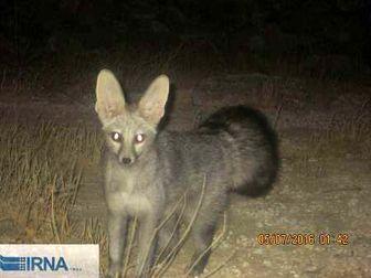 مشاهده کمیاب ترین نوع روباه دنیا در گیلانغرب