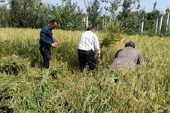 لزوم خشک کاری برنج برای حفظ منابع آبی