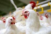 کاهش قیمت مرغ در راه است/ نرخ هر کیلو مرغ 36 هزار تومان