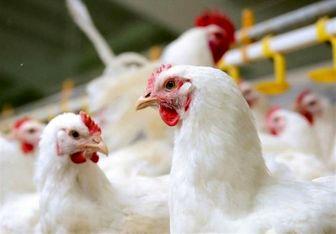 تولید روزانه ۷۵۰۰ تن مرغ در کشور