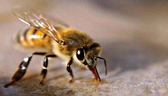 فواید زهر زنبور عسل  در درمان بیماریها