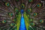 به دام انداختن طاووس سرگردان در تهران/ عکس