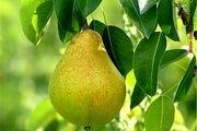 این میوه ها شما را لاغر می کنند