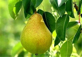 با این میوه خوشمزه سه سوته لاغر شوید