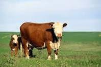 گاوها مقصر گرانی مواد لبنی معرفی شدند!