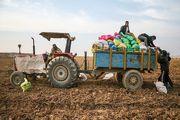 برداشت زودهنگام سیبزمینی در اردبیل