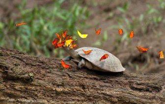 بوسه پروانهها بر اشک لاکپشت + تصاویر ناب