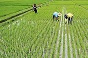 اعلام نوع ارز برای واردات برنج