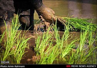 جزئیات نشست فوقالعاده دولت درباره برنج