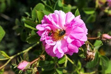 برداشت گل محمدی را دیدهاید؟/ گزارش تصویری