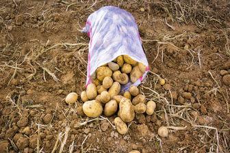 ایران سیزدهمین تولیدکننده سیب زمینی در دنیا است