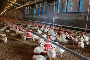 آنفلوانزای پرندگان، قابل انتقال به انسان نیست