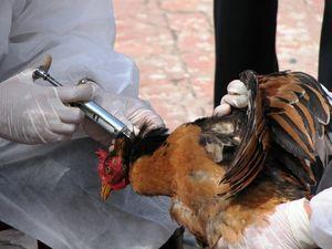 تب آنفلوآنزای مرغی بالا گرفت
