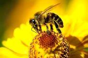 درمان دردهای مفصلی با زهر زنبور عسل