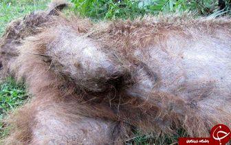 مرگ یک قلاده خرس در مازندران+تصاویر