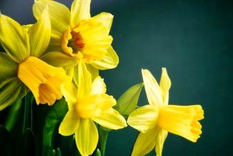 گل نرگس از رشد سرطان جلوگیری می کند
