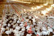نامه سرگشاده مرغداران به رئیس جمهور: مرغها گرسنهاند