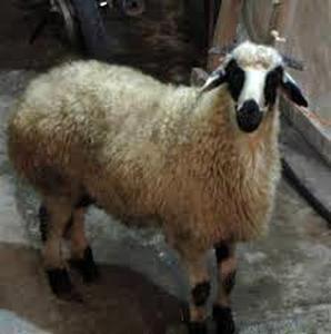 پیش بینی قیمت گوسفند زنده در عید قربان